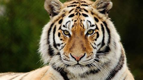 Black and white tiger wallpaper 60 images. Tiger Face Wallpapers - Wallpaper Cave