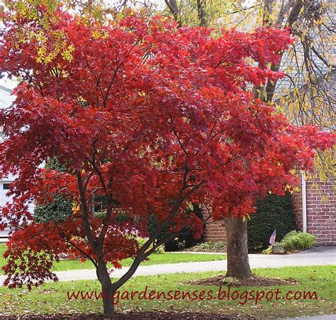 japanese maple tree photos garden sense japanese maple a very special tree
