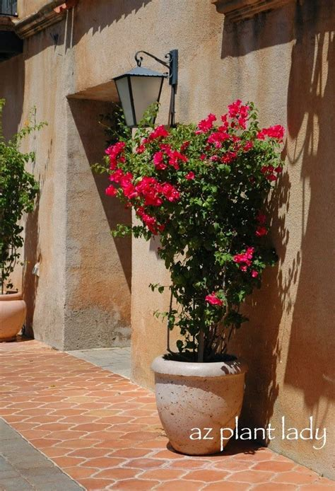 Container Gardening Growing Bougainvillea Pots