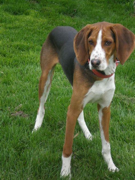 walker coonhound treeing hound dog english american foxhound grown puppies dogs