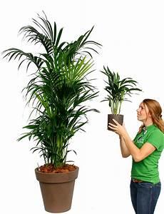 Büro Pflanzen Pflegeleicht : gro e zimmerpflanzen kaufen 123zimmerpflanzen ~ Michelbontemps.com Haus und Dekorationen