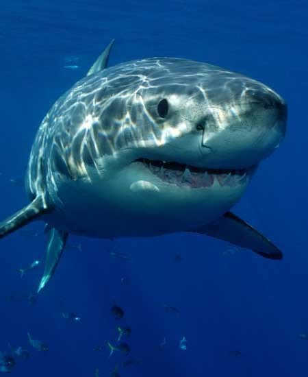 Images Of Sharks Shark Facts And Information