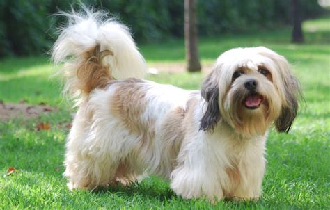 lhasa apso breed shedding the breed lhasa happy homes