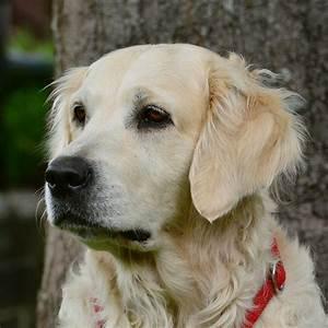 golden retriever pedigree database