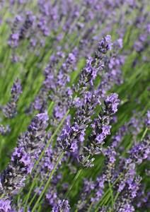 Wann Wird Lavendel Geschnitten : lavendelb umchen schneiden wann wie ~ Lizthompson.info Haus und Dekorationen