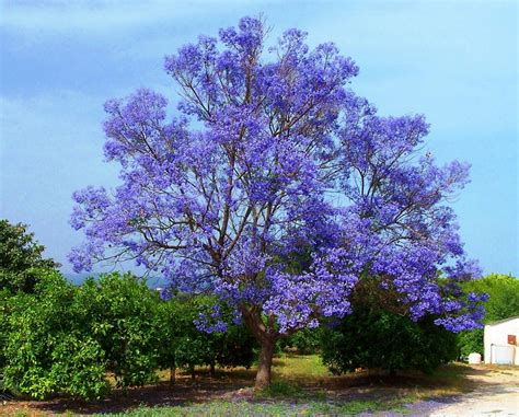 tree blooms jacaranda mimosifolia jacaranda tree 15 rare viable seeds fragrant flowers ebay