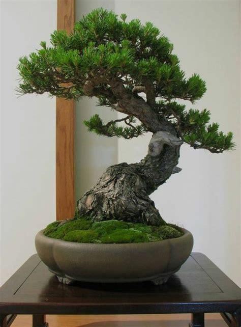 Bonsai Baum Pflanzen by Bonsai Baum Kaufen Und Richtig Pflegen Einige Wertvolle