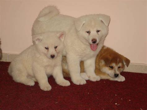 low shedding dogs in india dogs collection of 2012 japanese akita puppies price in india