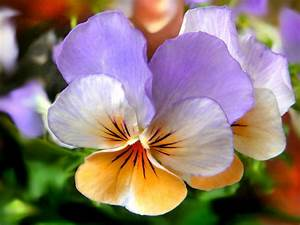 Hiving Out: pansies