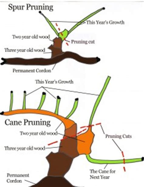 how to prune concord grapes spur pruning grapes
