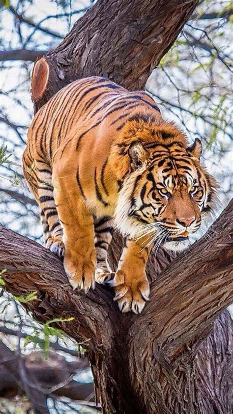 What Magnificent Tiger Love Tigers Fascination