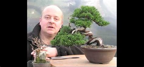 style  yamadori japanese larch shohin bonsai tree