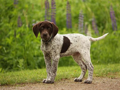 german shorthaired pointer excessive shedding german shorthaired pointer gsp s german