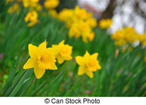 tromboni fiori narciso fiore immagini e archivi fotografici23 902 narciso