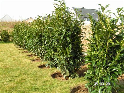 kirschlorbeer im herbst pflanzen die hecke geht weiter baublog alexey