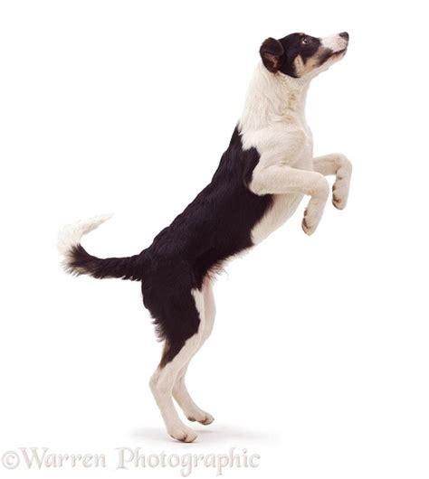 dog black  white border collie jumping  photo wp