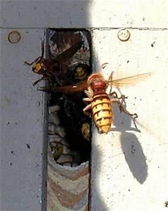 Fliegen Im Rolladenkasten : hornissenumsiedlungrolladen ~ Lizthompson.info Haus und Dekorationen
