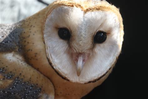 white  brown owl  stock photo