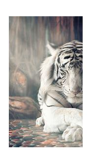 White Tiger Wallpapers | HD Wallpapers | ID #25346