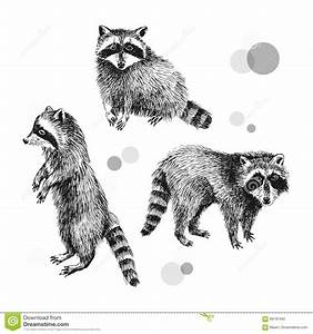3 hand drawn raccoons stock vector. Image of isolated ...