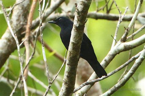 Black Cicadabird, Coracina melas, Papua New Guinea | Bird ...