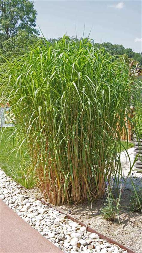 Garten Pflanzen Winterhart by Miscanthus Giganteus Elefantengras Bambus Und Pflanzenshop