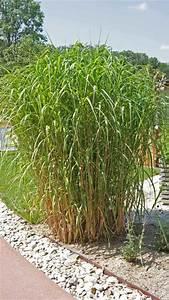 Gräser Für Garten : miscanthus giganteus elefantengras gr ser pflanzen ~ Lizthompson.info Haus und Dekorationen