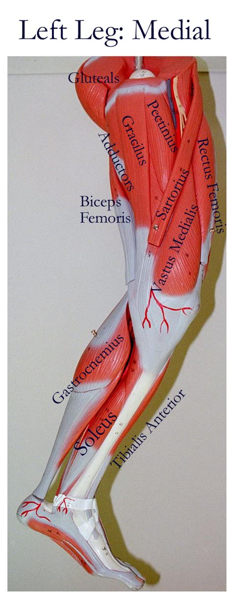 These muscles lie on each side of the vertebral column, deep to the thoracolumbar fascia. Pin on A&P