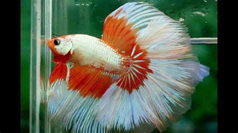 19 Jenis Ikan Hias jenis ikan hias air tawar aquarium