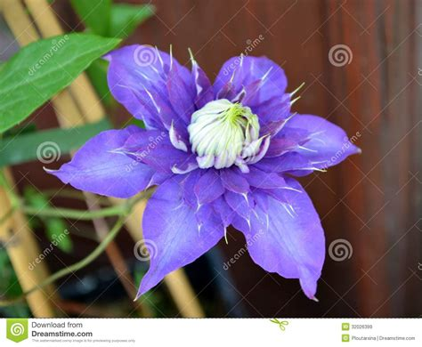 flower with big purple big purple flower royalty free stock images image 32026399