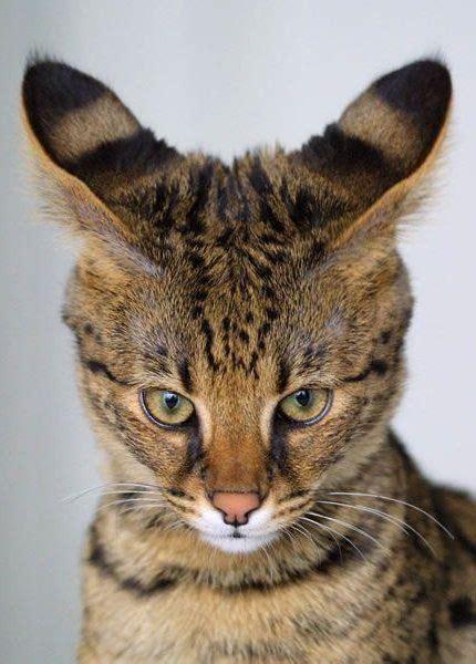 128 Best Savannah Cat Images On Pinterest  Cat Stuff, Cat