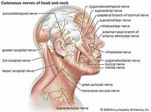 Cutaneous Nerve  Cutaneous Nerves Of Head And Neck