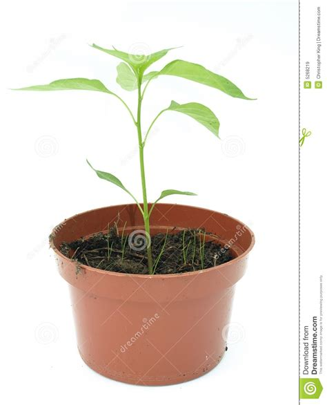 blanc en pot plante en pot sur un fond blanc images libres de droits image 5268219