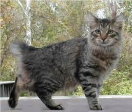 american bobtail cat cats in pictures photos and cats in pictures
