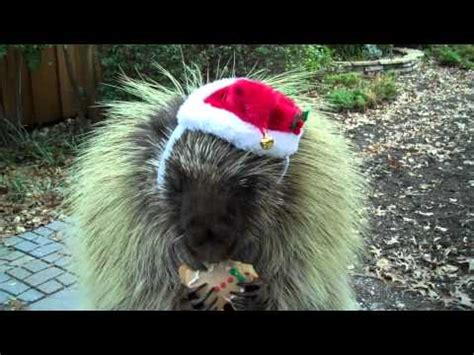 Porcupine Eating Pumpkin And Talking by Teddy The Talking Porcupine Says Merry Christmas