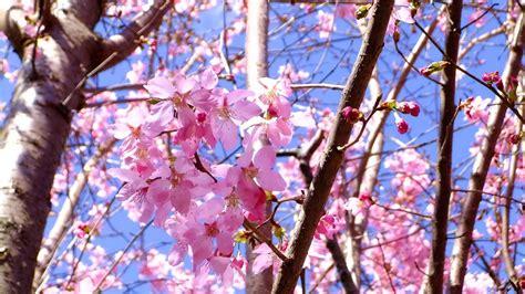 natur kirschblueten blumen fruehling zweige rosa wallpaper