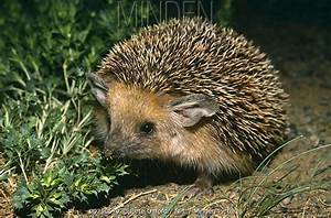 Minden Pictures stock photos - Long eared desert hedgehog ...
