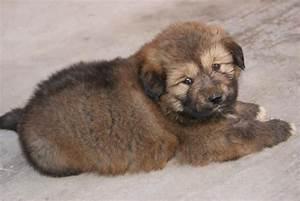 Tibetan Mastiff Puppies for Sale(Heera Sahib 1)(14044 ...