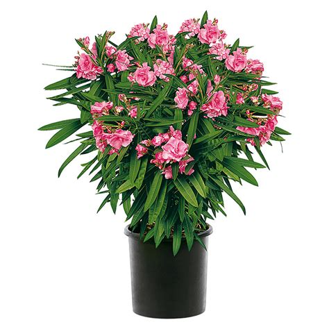 oleander ähnliche pflanzen oleander nerium oleander topfgr 246 223 e 22 cm 8143 oleander ibia mediterane pflanzen