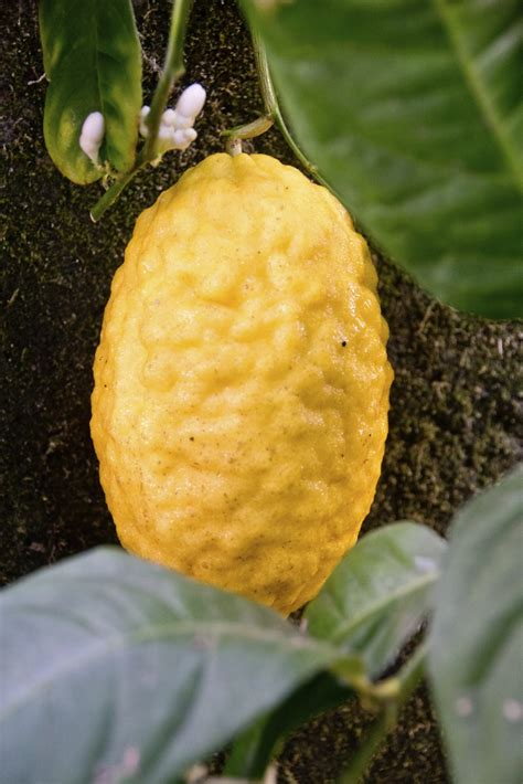 Etrog Fruit Information  What Is An Etrog And Care Of Citron