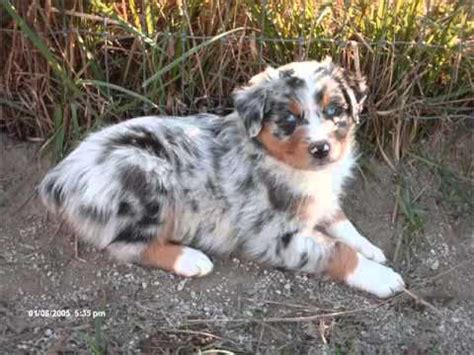 australian shepherd black merle picture collection
