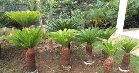 pohon sikas tanaman hias tukang taman murah
