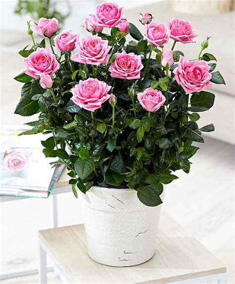 Buy house plants now Potted Rose Palace® 'Rebekah