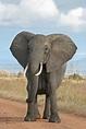 File:African Bush Elephant.jpg - Wikipedia