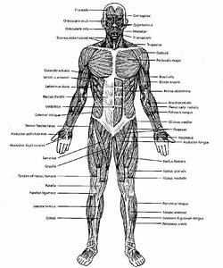 The Muscular System Labeled   The Muscular System Labeled