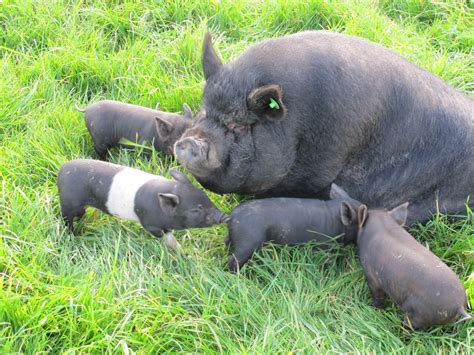 pot belly pigs pot belly pigs weymouth dorset pets4homes