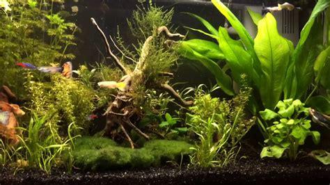 faire un aquarium d eau douce comment faire un aquarium d eau douce guppy platy gouramis cardinales