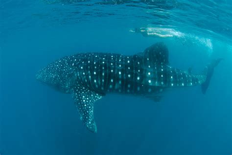 whale shark interaction donsol eco