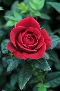 93 best Rose images on Pinterest | Red roses, Beautiful ...