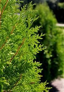 Thuja Brabant Oder Smaragd : thuja brabant oder lebensbaum brabant in bester qualit t bei green4living ~ Orissabook.com Haus und Dekorationen